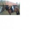 Eladó_lovak - utolsó hozzászóló: Melucz